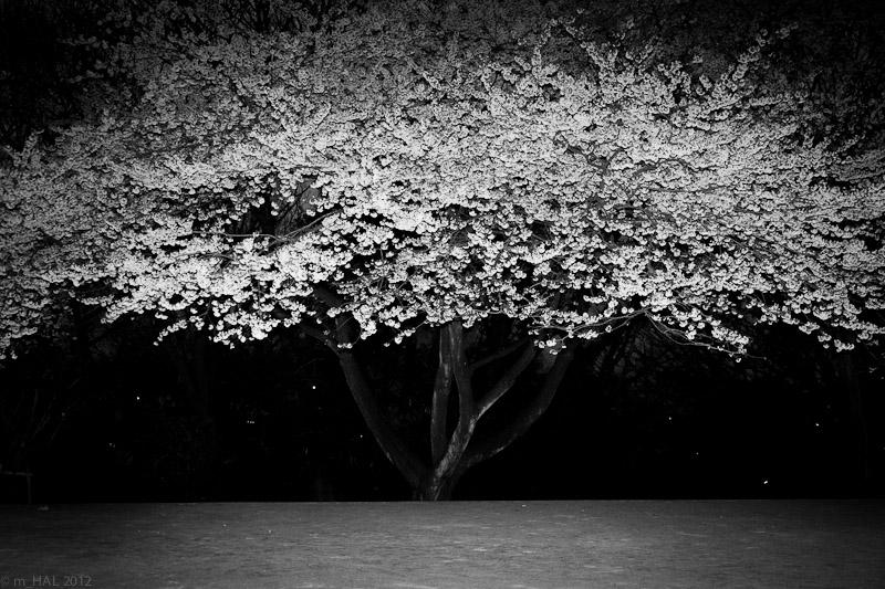 6-sakura_variation_II.jpg