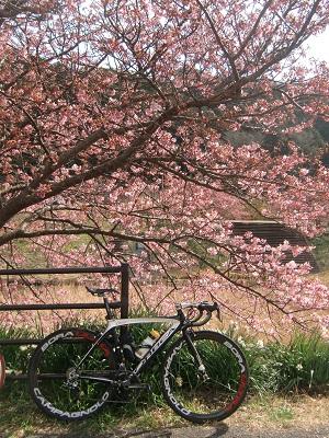 南の河津桜