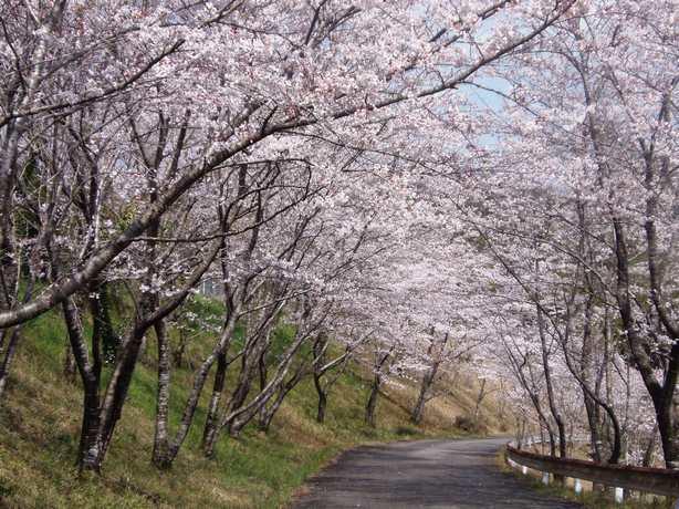 2012.3.31森の国のソメイヨシノ