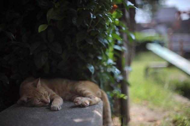 昼寝の茶トラ