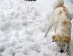 雪を食べる犬