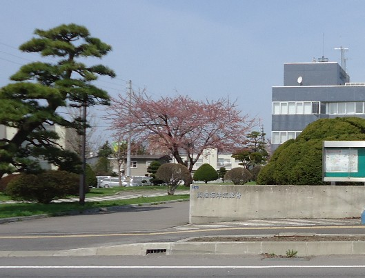 52sakura.jpg