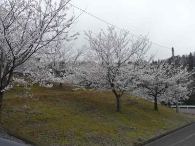 2013桜04