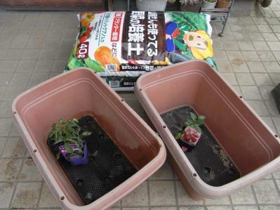 20130429トマト植えつけ01