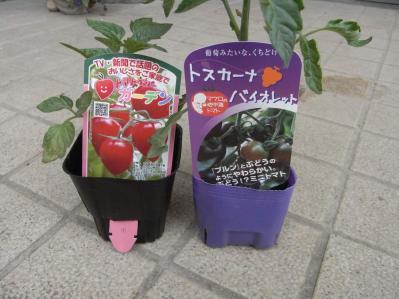 20130429トマト植えつけ02