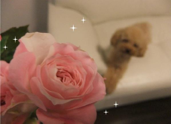 きらきら薔薇
