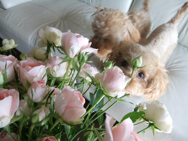 そらとピンクの薔薇