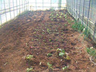 ハウスに移植した野菜