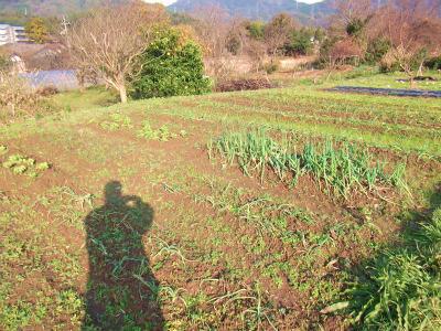 畑の野菜2