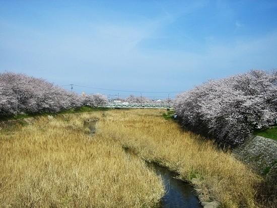 頓田川の桜