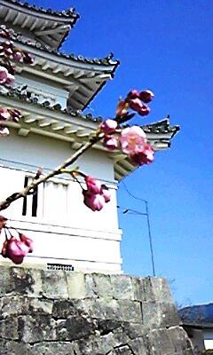 宇和島城の寒桜