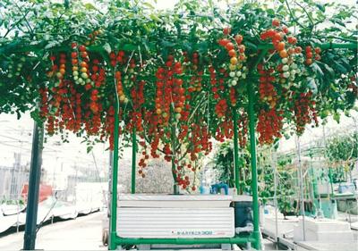 303ミニトマトs