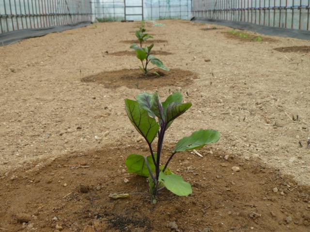 野菜苗植え