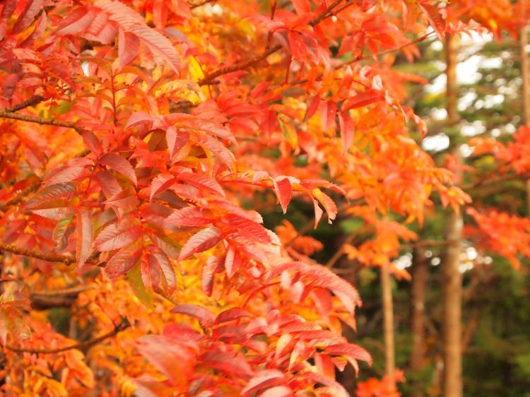 富士山紅葉 5