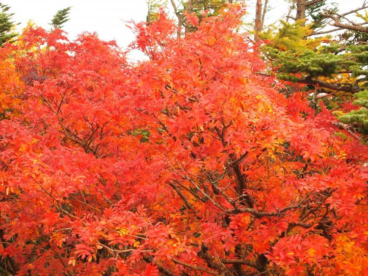 富士山紅葉 6