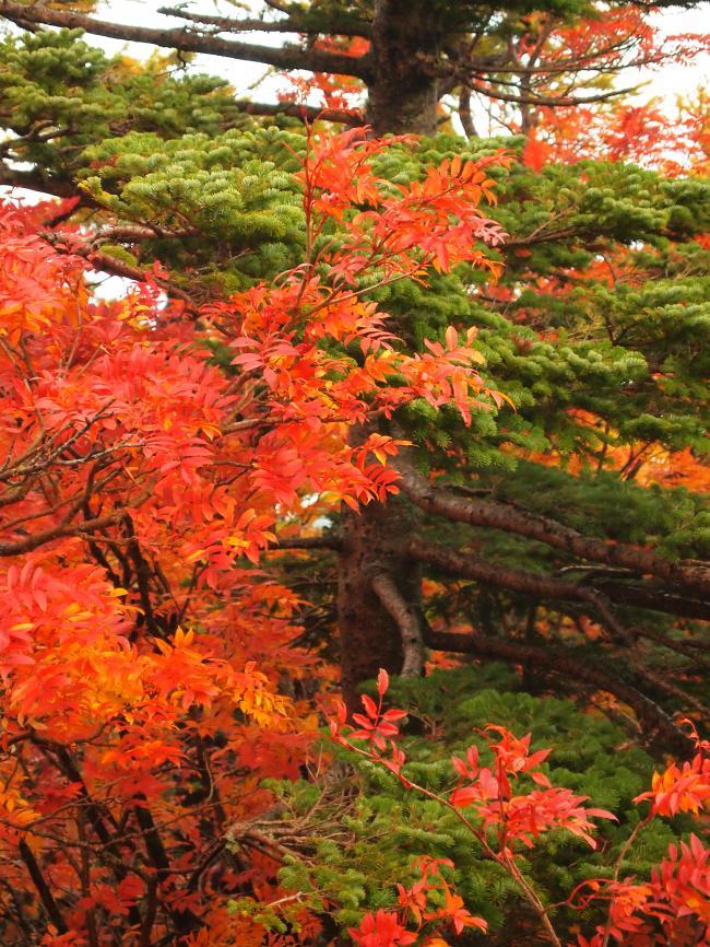 富士山紅葉 7