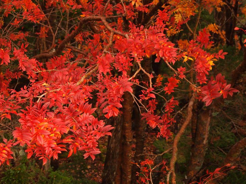 富士山紅葉 8