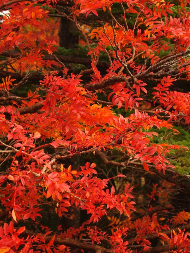 富士山紅葉 9