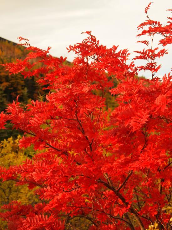 富士山紅葉 14