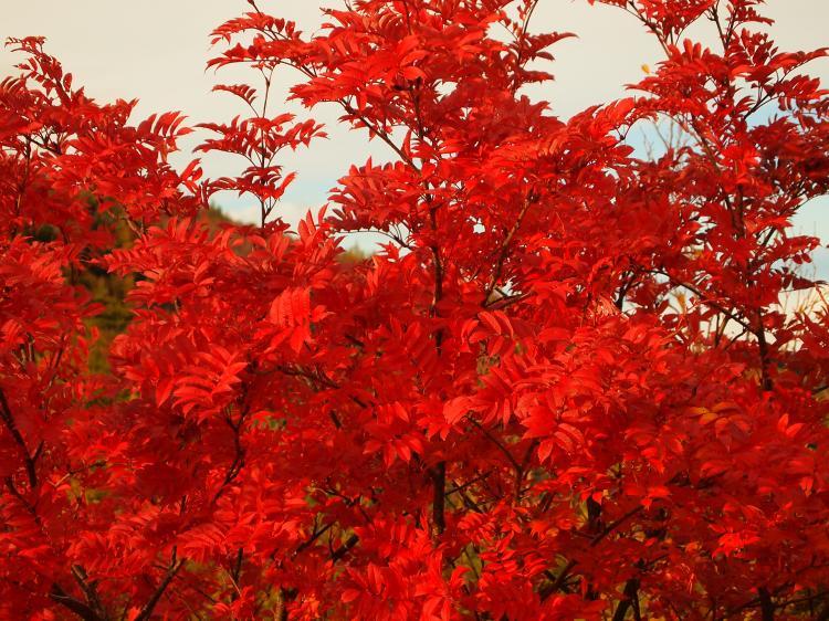 富士山紅葉 15