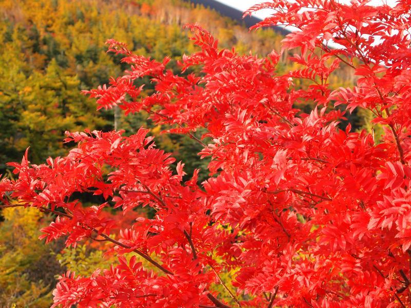 富士山紅葉 16