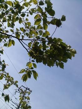 すっかり葉桜に。