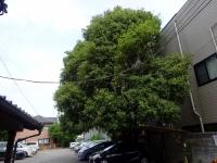 樹齢170年の銀木犀