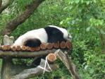 木柵動物園のパンダ