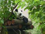 木柵動物園のパンダ2