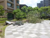台風7号の強風で倒れた中庭の木130714