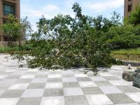 台風7号の強風で倒れた中庭の木表側130714