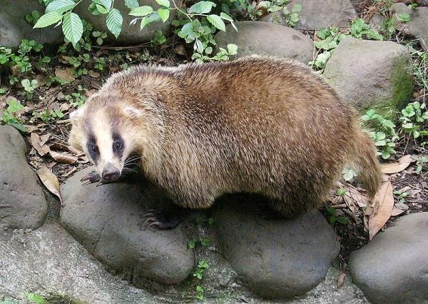 800px-Meles_meles_anakuma_at_Inokashira_Park_Zoo.jpg