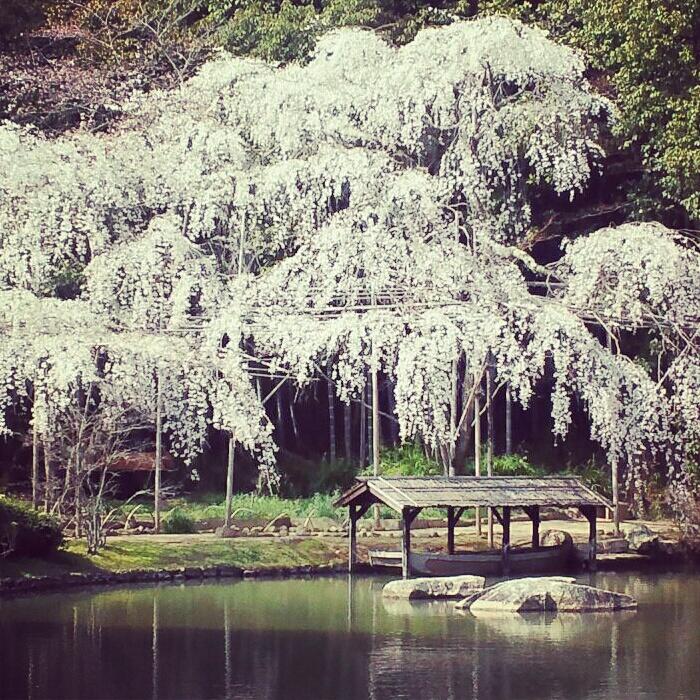 曹源寺の枝垂れ桜