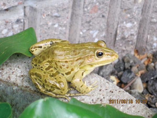 金色のカエル