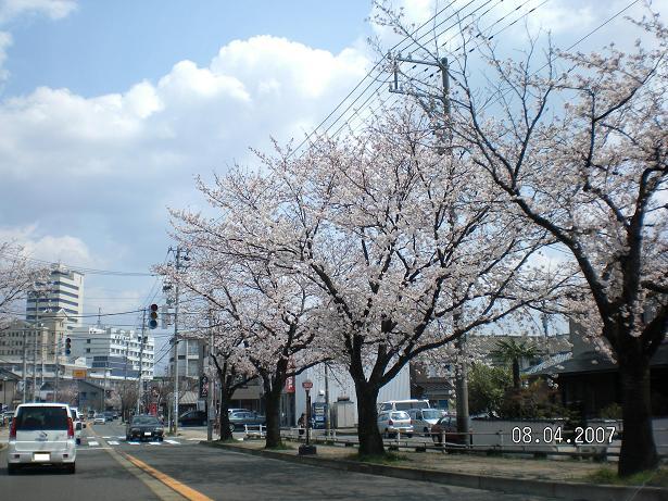 2007桜A.JPG
