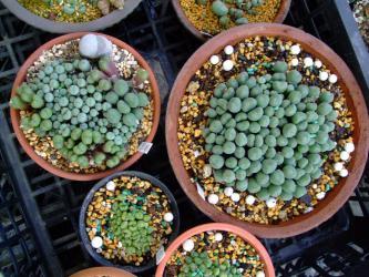 コノフィツム~2010年挿し木株12cm鉢いっぱいになったので一回り大きい鉢にそのまま植え替え・鉢増ししました♪2013.02.29