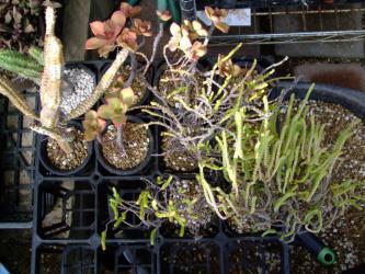 根詰まり多肉~植え替え完了~スッキリ・サッパリ用土一新~春からの成長に期待です2013.02.05