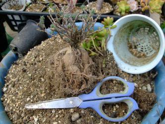 トリコディアデマ 姫紅小松がいましたよ~♪セダム 松の緑と一緒~根土をとって植え替えます♪2013.02.05