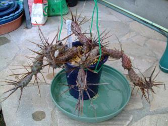 テフロカクタス 黒太刀(Tephrocactus platyacanthus var. deflexispinus) 焼けすぎて・・・痛そう~( ^∀^)2013.02.09