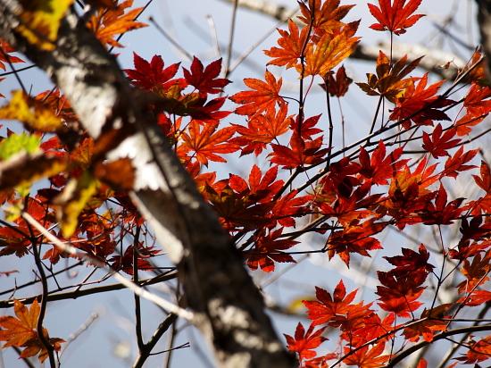 染まる楓の葉