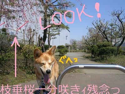 201204sakura1