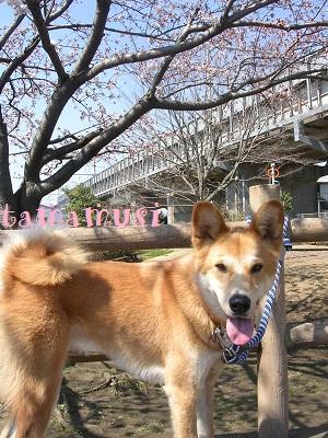 201204sakura3