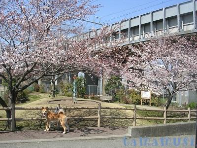 201204sakura2