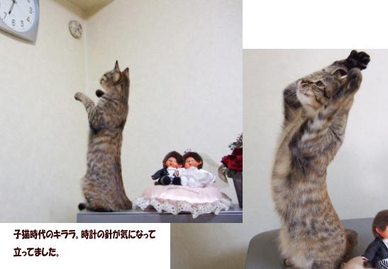 子猫時代のキララたって定 1のコピー