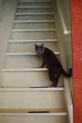 階段を振りかえるロシアンブルーちゃん333
