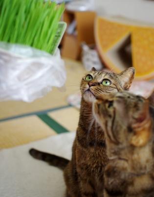 新鮮な猫草だ^^3¥42¥3423きらら