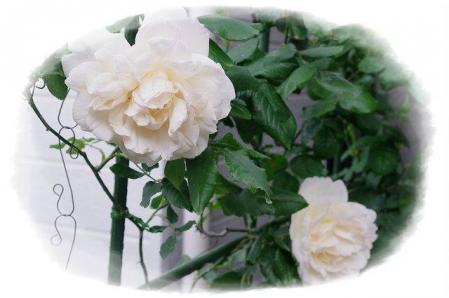 rose430 002