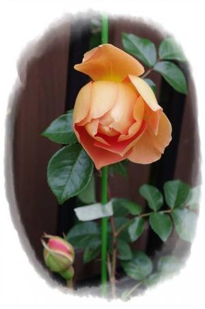 rose430 015