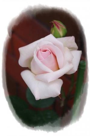 rose430 019