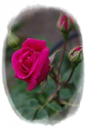 rose430 020
